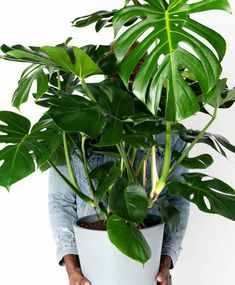 Buy a Monstera Deliciosa indoor plant with 5 pot color optionsand free delivery straight to your door. Guarantee on all plants, plus expert plant care support. Buy Indoor Plants Online, Order Plants Online, Best Indoor Plants, All Plants, Outdoor Plants, Floor Plants, Jouer Au Poker, Desert Rose Plant, Stone Plant