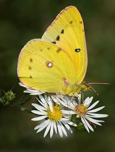 Orange Sulphur Butterfly (Colias eurytheme)