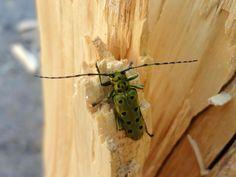 Capricorn beetle by Jonas Photography