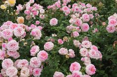 Thank You (LUDzenlyn) - (Ludwig Taschner,  South Africa, 2015). Ludwigs Roses South Africa. Floribunda rose with old-fashioned deep-cup blooms, with deep pink centres and pale pink edges. Knee-height bush with no scent. Blooms last well on bush or in vase.