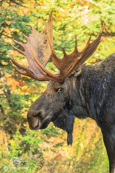 500px / Photo Not a Happy Camper by John Haig--Bull Moose
