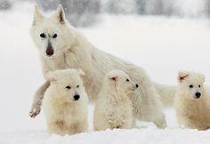 White Shepherd Dog / Berger Blanc Suisse