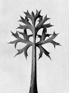 "Plate 32 from ""Urformen der Kunst"" [""Art Forms in Nature""] by Karl Blossfeldt, edition Karl Blossfeldt, Still Life Photography, Book Photography, Inspiring Photography, Botanical Art, Botanical Illustration, Sea Illustration, Natural Form Art, Sea Holly"