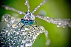 Стрекоза в утренней росе.  Dew-Covered Insects Photography by David Chambon  Фотограф: Давид Шамбон (David Chambon).