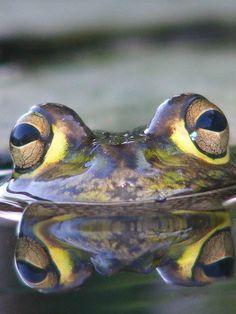 frogs eyes