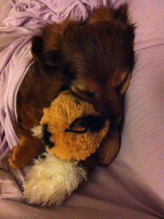 Leo and his favorite toy :) #dachshund