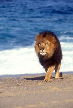 Lion alone by the sea.