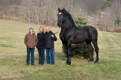 """Black Percheron Stallion… He stands 19 hands high and his nick name is """"Moose""""…  Currently the Percheron Supreme World Champion..."""