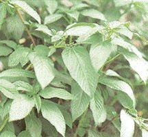 Greens, Specialty : Alfalfa - green manure/cover crop -