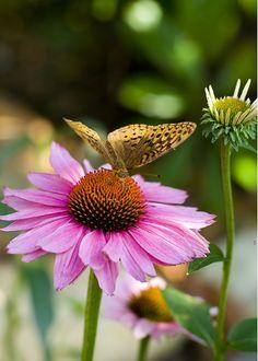 Butterfly bush-un favori de la faune sauvage-Graines fraîches