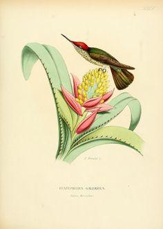 https://flic.kr/p/cnqdJ7 | n54_w1150 | Histoire naturelle des oiseaux-mouches, ou, Colibris constituant la famille des trochilidés /. Lyon :Au Bureau de la Société Linnéenne,1874-1877.. biodiversitylibrary.org/page/39896466