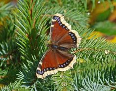 Alaska's tough butterfly  Tip: You can find butterflies throughout Alaska if you look for the right conditions.