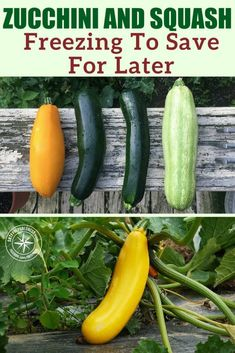 Freezing zucchini and squash is a must if you have a few squash and zucchini plants in your garden. Save some of that goodness to enjoy later. Canned Zucchini, Zucchini Bread, Fried Zucchini, Squash Noodles, Zucchini Noodles, Can You Freeze Squash, Freezing Yellow Squash, Squash Patties, Zucchini Plants