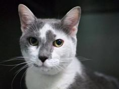 **SAFE 9/4  MAGNIFICENT CAT RESCUE**  ** TO BE DESTROYED 08/31/16 *** OVERWEIGHT STRAYS INVADE NYC!! Someone should…