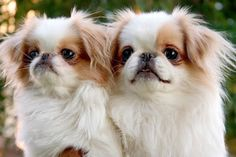 Japanese Chin Puppy Pictures