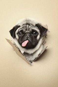 It's Pug-in-a-box!! Squishy Pug