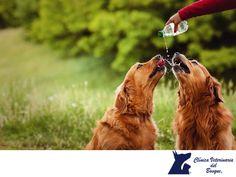 Mantén hidratado correctamente a tu perro. En CLÍNICA VETERINARIA DEL BOSQUE. Para mantener a tu mascota sana, lo más importante es que cuente con una correcta hidratación. Por ello, debes asegurarte de que siempre tenga agua fresca en su dispensador y cambiarla cada día ya que las bacterias están presentes, aunque no las veas. En Clínica Veterinaria del Bosque contamos con médicos veterinarios especialistas para atender a tu mascota.  #cuidadodemascotas