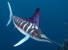 Big Fishes of the World: MARLIN STRIPED (Tetrapturus audax)