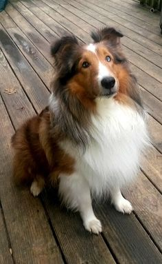 Location Reynoldsburg, OH Rescue ID Buckley Organization Contact Cause for Paws - Columbus Chapter www.petfinder.com Columbus, OH 43068 Send Question Buckley's Description  Help Me Get Adopted Buckley is a stunning 3yr old Sheltie looking for his forever home. He is a little on the large side being 40lbs but we have been told that is not unheard of for a Sheltie. He is gorgeous with his one blue eye and slight curl to his coat. Buckley has a fabulous personality, he ignores cats and ...