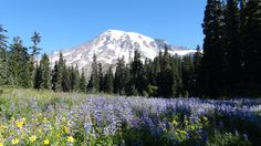 Established March 2, 1899, as our fifth National Park, the iconic Mt. Rainier, standing at 14,410 feet, is the most prominent peak in the Cascade Range and is an active volcano, last erupting about 150 years ago.