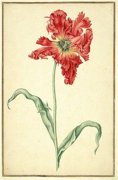 Watercolour of a Tulip (1728) from 'Karlsruher Tulpenbuch' by an unknown artist.http://digital.blb-karlsruhe.de/id/12076Wikimedia