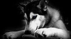 Black dog iPhone Wallpapers iPhone Wallpaper Black And White Dog Wallpapers Wallpapers) Black And White Dog, White Dogs, Malamute Vs Husky, Terriers, White Husky Dog, Angry Wallpapers, Iphone Wallpapers, Cat And Dog Photos, Husky Photos