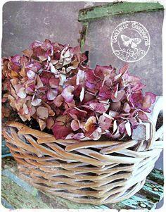 Hortensias de Bretagne ou lavande de Provence .