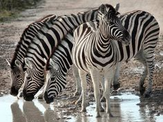 Photo of the Day: Zebra stands guard for friends at watering hole