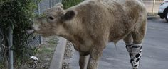 This Rescued Calf Couldn't Be Happier With His New Prosthetics Which Let Him Walk And Play
