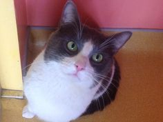 Scott - I am a 3yr old, sweet male, with an adorable face & gorgeous eyes.   ADOPT ME! http://www.animalkind.info/content/Adoption_Application/Adoption_Application