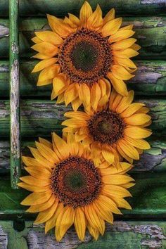 Sunflower tattoo meaning · love all things shabby & vintage sun flowers, sunflowers and daisies, happy flowers, Sunflower Pictures, Sunflower Art, Sunflower Garden, Happy Flowers, Beautiful Flowers, Sun Flowers, Wedding Flowers, Beautiful Sunset, Abstract Canvas