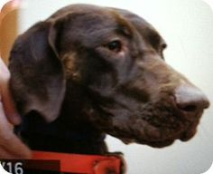 Hershey needs a home!!  Burlington, WA - German Shorthaired Pointer. Meet Hershey a Dog for Adoption.