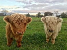 16 Adorable and Ultra Fluffy Animals Will Melt Your Heart Cute Baby Cow, Baby Cows, Cute Cows, Cute Babies, Baby Elephants, Fluffy Cows, Fluffy Animals, Cute Little Animals, Cute Funny Animals
