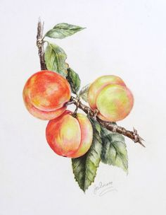 Whittier Artists: Peaches Watercolor Fruit, Fruit Painting, Watercolour Painting, Botanical Drawings, Botanical Art, Art Floral, Peach Paint, Tree Sketches, Art Prompts