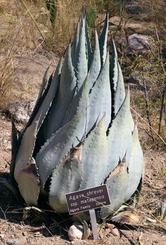 """A large agave an interesting shape, this agave shrevei stands about 4 feet tall, with """"babies"""" at the base. This is one of the distinctive specimen plants at the Boyce Thompson Arboretum in Superior. It's a world-class arboretum and highly recommended for visitors to Arizona. It's only an hour or so away from Phoenix and the drive is gorgeous towards the mountains of the Superior area."""