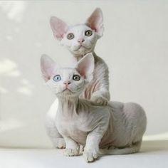 Sphynx Cats Photo: Sphynx Kittens