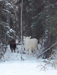 White moose near Chetwynd, BC