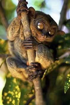 tarsiers in a tree - Google Search
