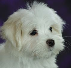 aww how cute is this puppy Toy Puppies, Cute Puppies, Cute Dogs, Dogs And Puppies, Doggies, Maltese Poodle, Maltese Dogs, Teacup Maltese, Teacup Puppies