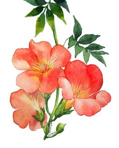 Watercolour Painting, Watercolor Flowers, Campsis, Flowering Vines, Painting Lessons, Creepers, Colorful Flowers, My Drawings, Planting Flowers