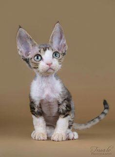 Cute Big Eared Kitten