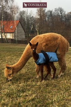 """Mom is teaching me what to eat to be healthy!  I love my alpaca mom!! <3 <3"" baby alpaca"