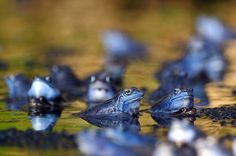 Moor frogs (Rana arvalis)  by Luke Esenko, guardian.co.uk: Male moor frogs in Ljubljana, Slovenia which are normally reddish brown, temporarily turn blue in spawning season. It is thought that males turn blue during the mating season so they can quickly distinguish males from females among the dense frog populations. #Frogs #Moor_Frogs