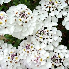 Iberis Plant - Masterpiece - Plants Attractive to Bees - Wildlife Attracting Plants - Flower Plants - Gardening - Suttons Seeds and Plants