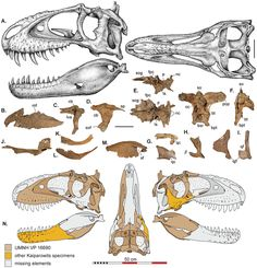 Reconstructions crâniennes de Teratophoneus curriei ( UMNH VP 16690)