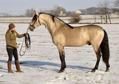 Pepino PRE - Marinero MG andalusian horse