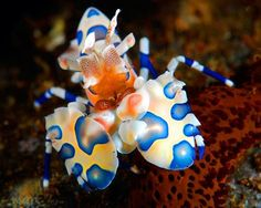 Harlequin shrimp - Harlequin shrimp might look tiny, but they are fierce predators of starfish. Working in pairs, they can even take down the intimidating crown-of-thorns starfish.