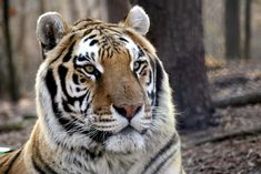 Rajah Tiger | Carolina Tiger Rescue Big Cats, Tigers, Cute Animals, Wildlife, Nature, Random, Pretty Animals, Naturaleza, Cutest Animals
