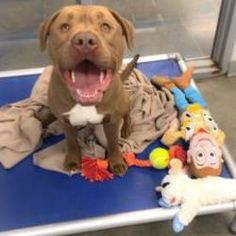 Pictures of Ferdinand a American Pit Bull Terrier for adoption in Fort Dodge, IA who needs a loving home.