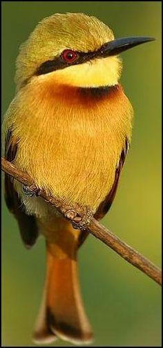 Little Bee-eater (Merops pusillus) - ©Nigel Blake - http://members.multimania.co.uk/nigelblake2/web2/gambia/gambia.htm